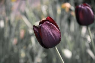 tulip-670643_1920
