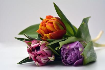tulips-1231358_1920