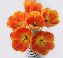 tulips-747050_1920
